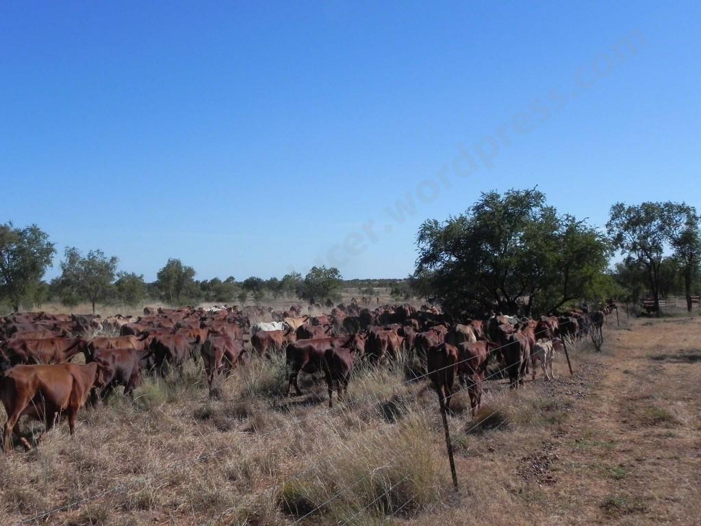 01.06.13 118 Muster #1 herd