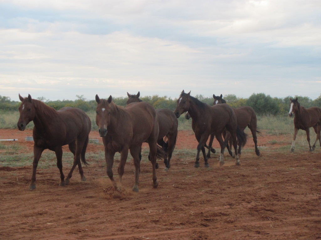 There are over 40 horses on the property and we rely on the bikes to bring them in for shoeing, training and riding
