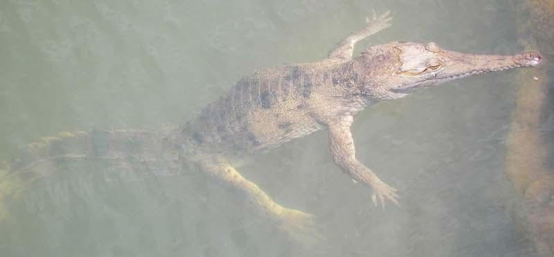 #3.6 Freshwater crocodile