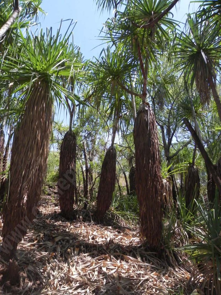 #4.5 Pandanus palms