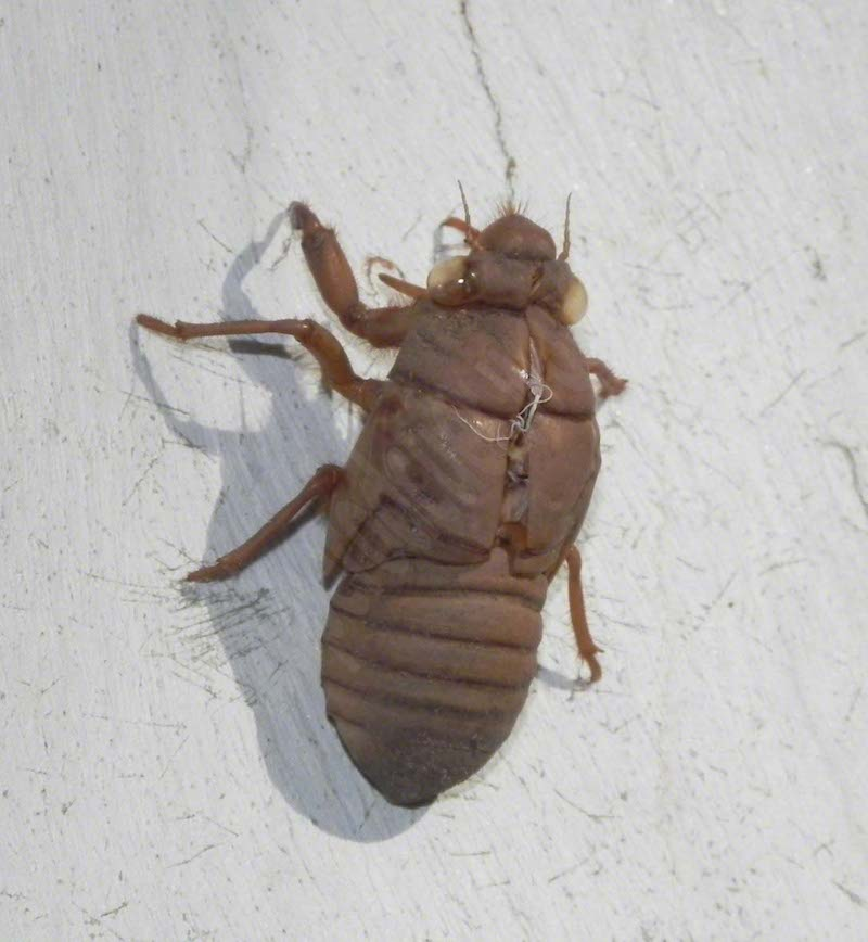 #5.1 Single Cicadas