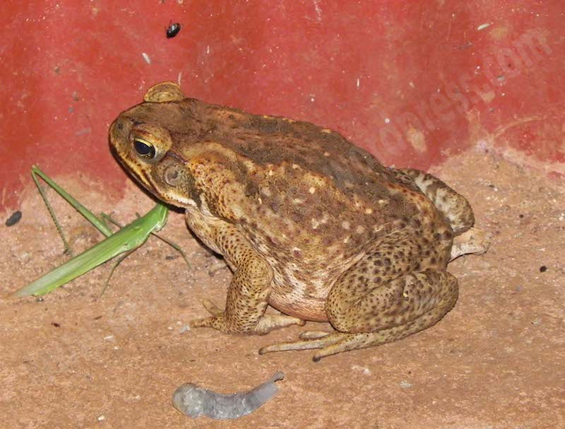 #6.6 Cane toad
