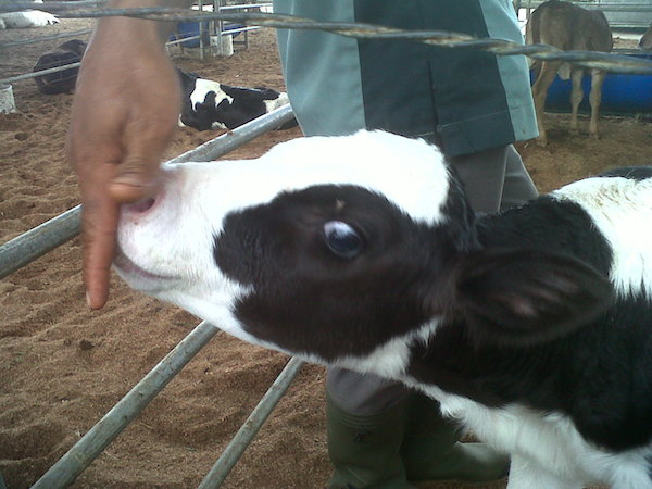 1-2 Dairy calf