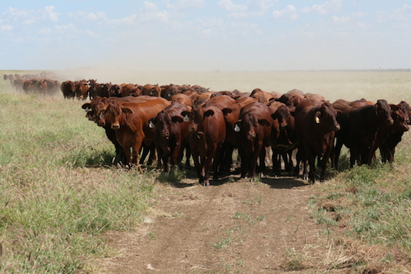 photo 2.8 Mustering Burslem heifers (8)_1