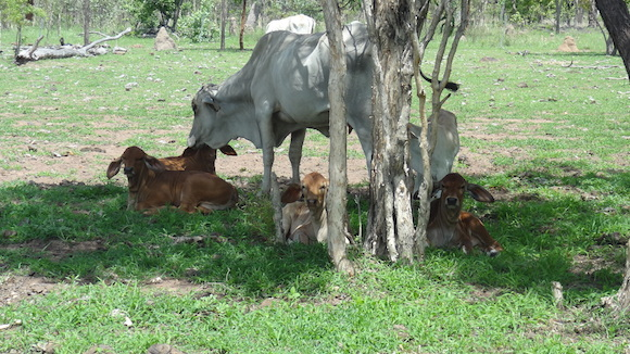 "2. ""A stud cow at Lakefield minding the little ones while the other mums feed"""