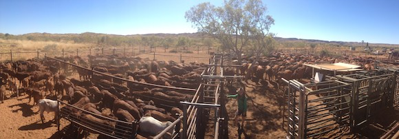 6.3 Processing Gapwell Cattle muster with Tamsy