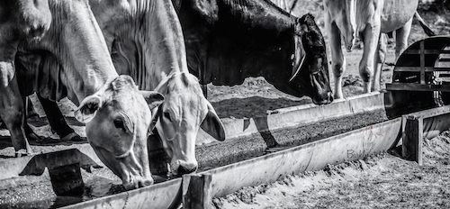 3.Cattle drinking at a freshly cleaned trough