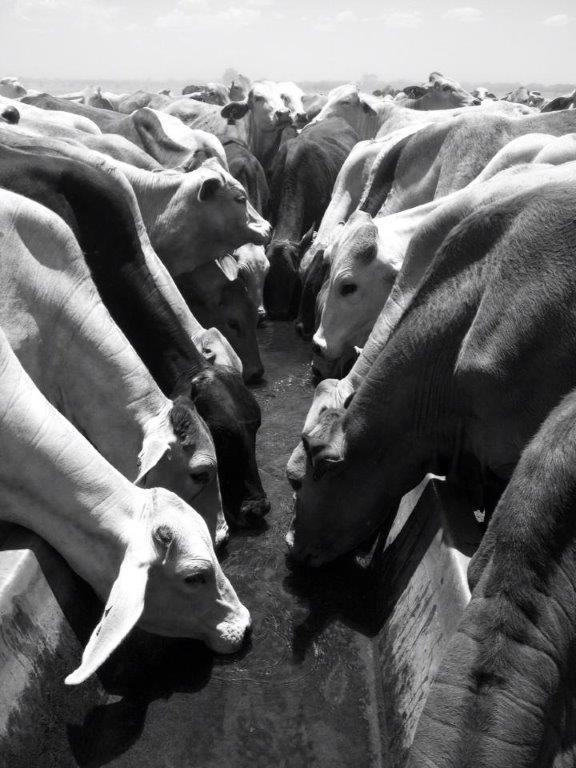 442Thirsty cattle all lined up for a drinl after a long walk 2