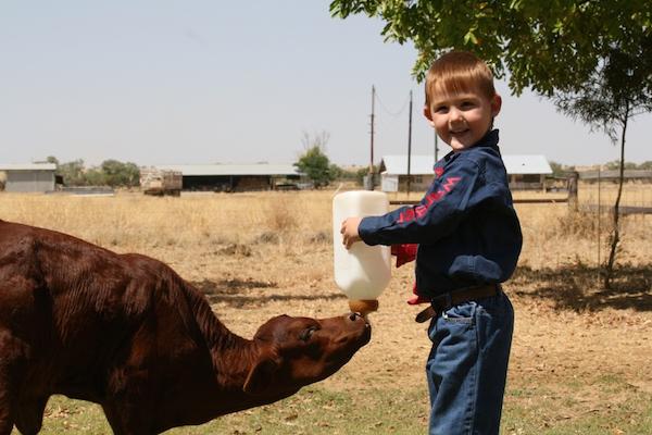 1.2 - Feeding a poddy calf