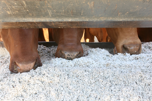 3.1 - Cottonseed in trough