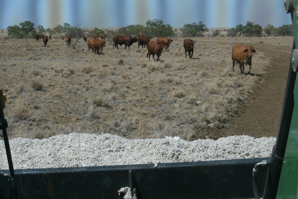 3.7 - Walking cottonseed to stud paddock