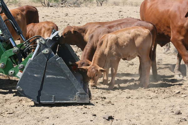5.3 - Calves getting the last from the bucket