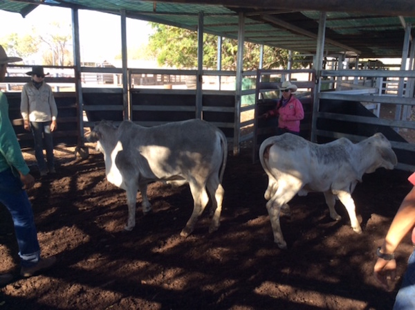 3.4 Separating a weaner steer and a weaner heifer in the round pen copy