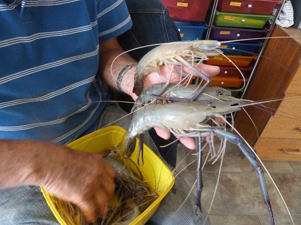 4.3 Cherabins - large freshwater prawns found in some of our water holes. copy