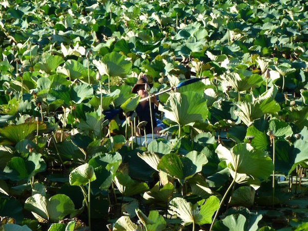 5.7 This was Campbell trying to check the foot valve in amongst the overgrown lillies ( a Where's Wally moment) in the Homestead Lagoon before the drought hit copy