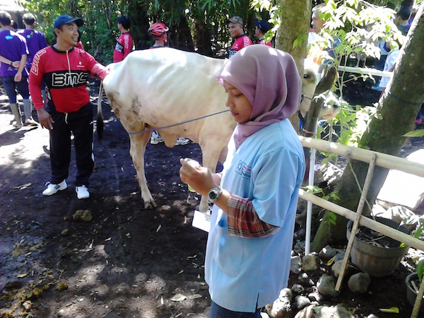 Injecting Vit.B to Cattle in East JAva copy