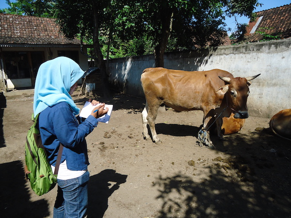 Recording, check Villagers cattle copy