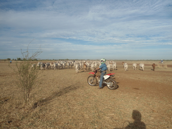 Walking Cattle at Birrindudu station NT copy