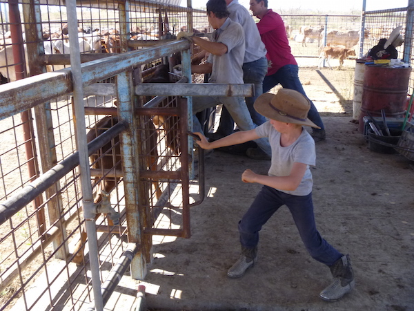 3.2 Dartanion processing calves copy