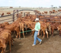 The 'how' and 'why' of trucking cattle