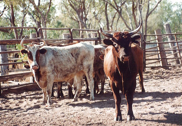 Photo 1. The 1976 pastoral industry was based on shorthorn cattle copy