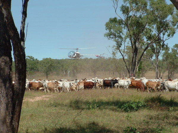 Photo 2. Mustering is now by helicopter copy