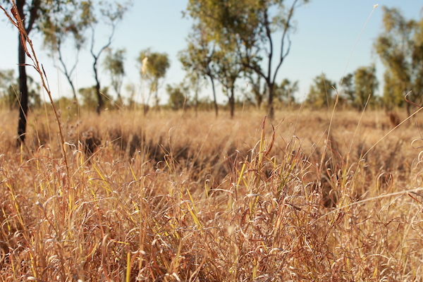Photo 3. My absolutely favourite pasture sepecies, Dichanthium fecundum copy