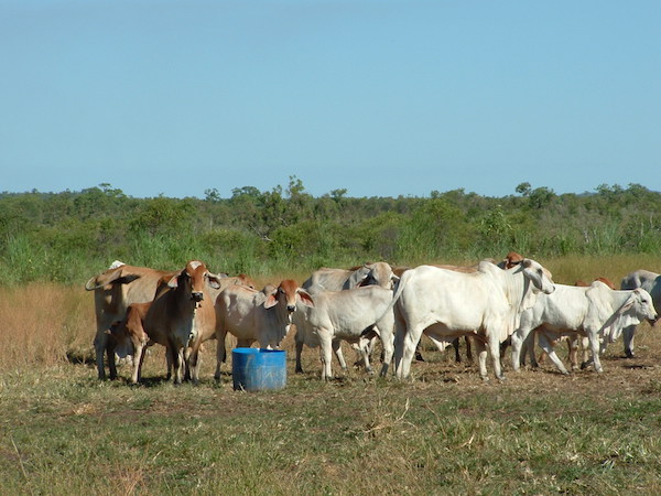 Photo 3. Supplementing Brahman cattle copy