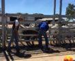 Cattle Tick