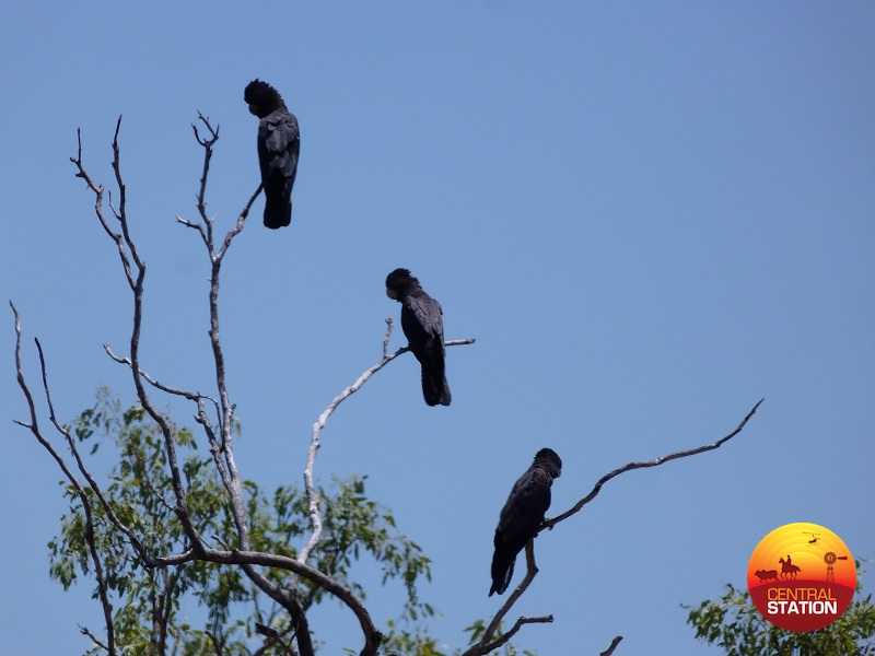 3-1-black-cockatoos-copy
