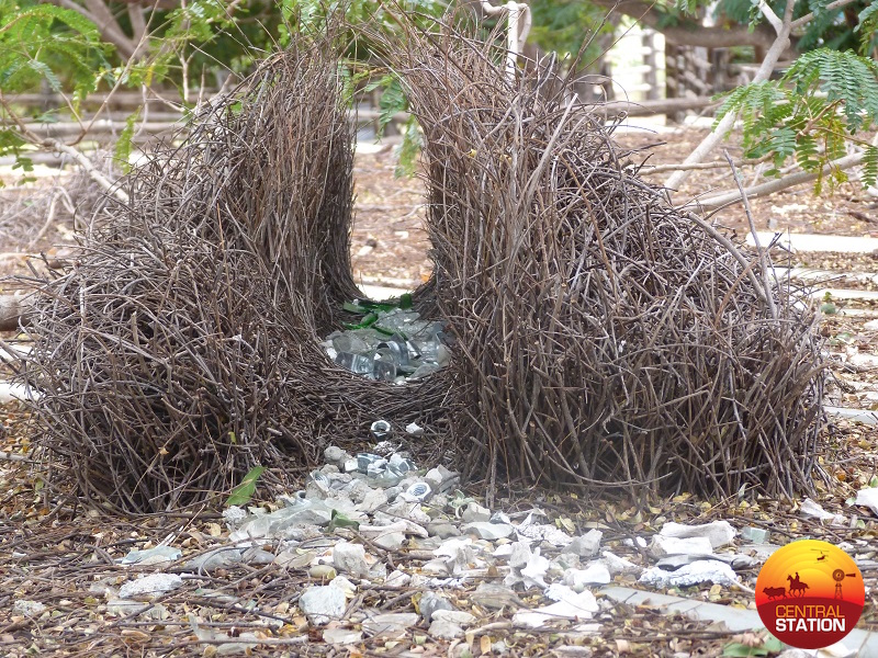 3-7-a-bower-birds-nest-with-his-collection-copy