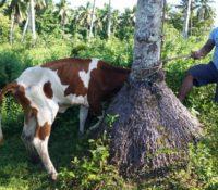 Balmy Bovines – raising cattle in Samoa