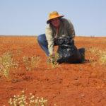 The problematic Pimelea plant